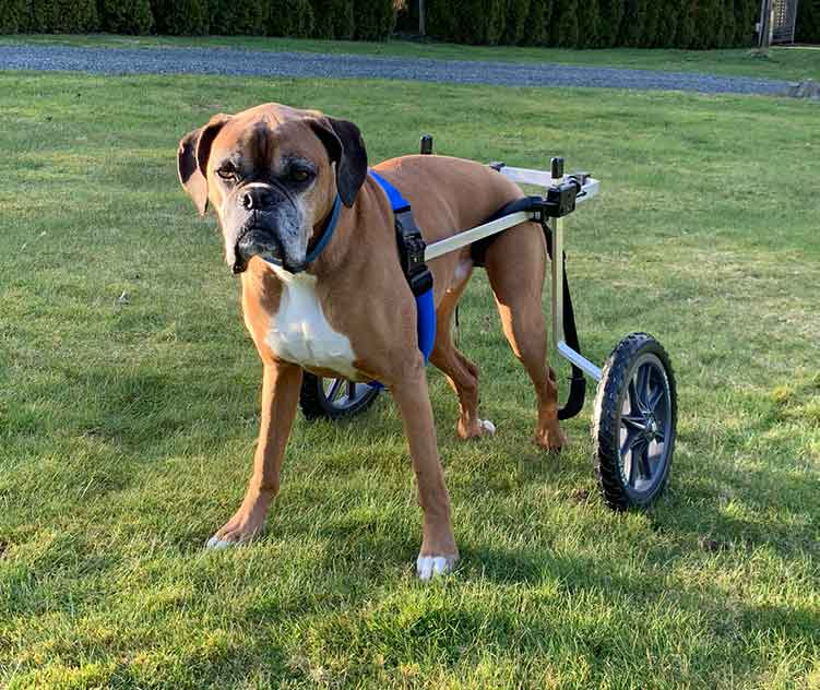 Boxer in rear support wheelchair