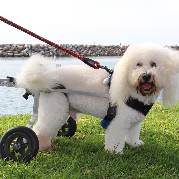 Bichon in small rear support wheelchair