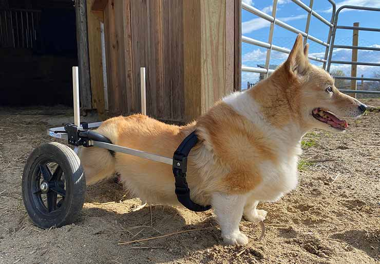 Corgi in med-small rear support wheelchair