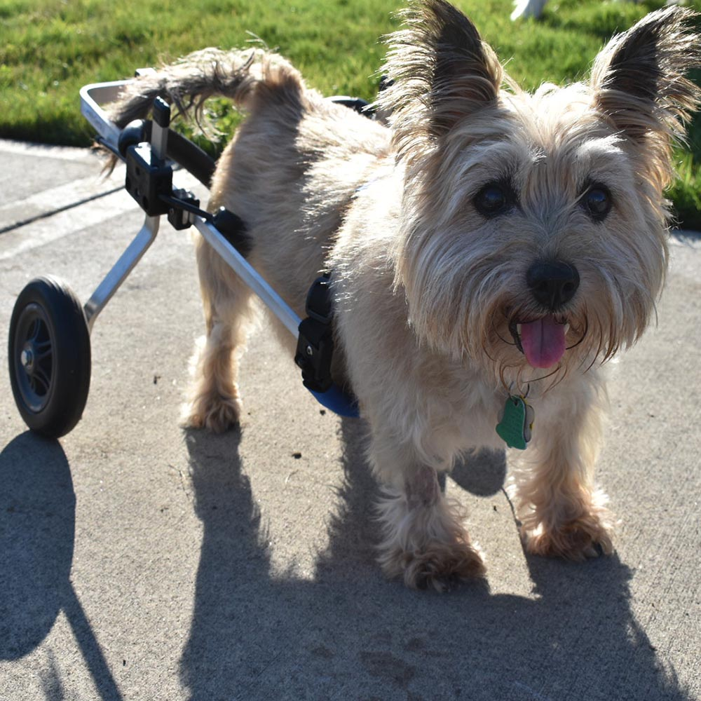 cairn terrier in small rear support wheelchair