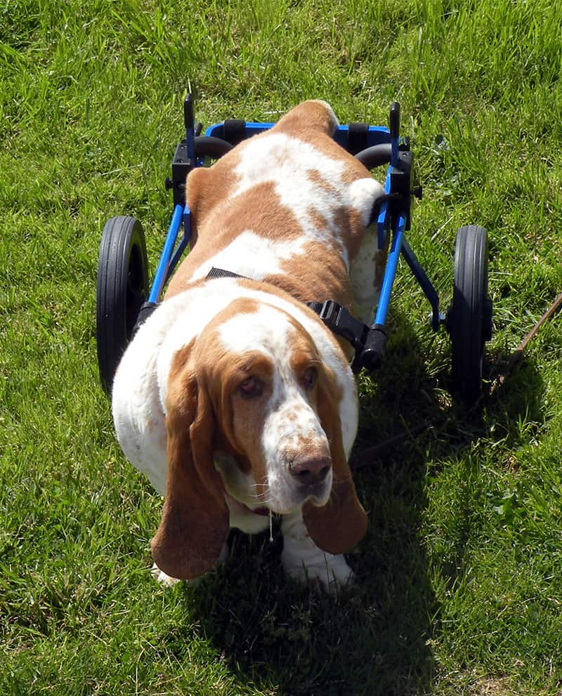 Basset in Dog Wheelchair by K9 Carts