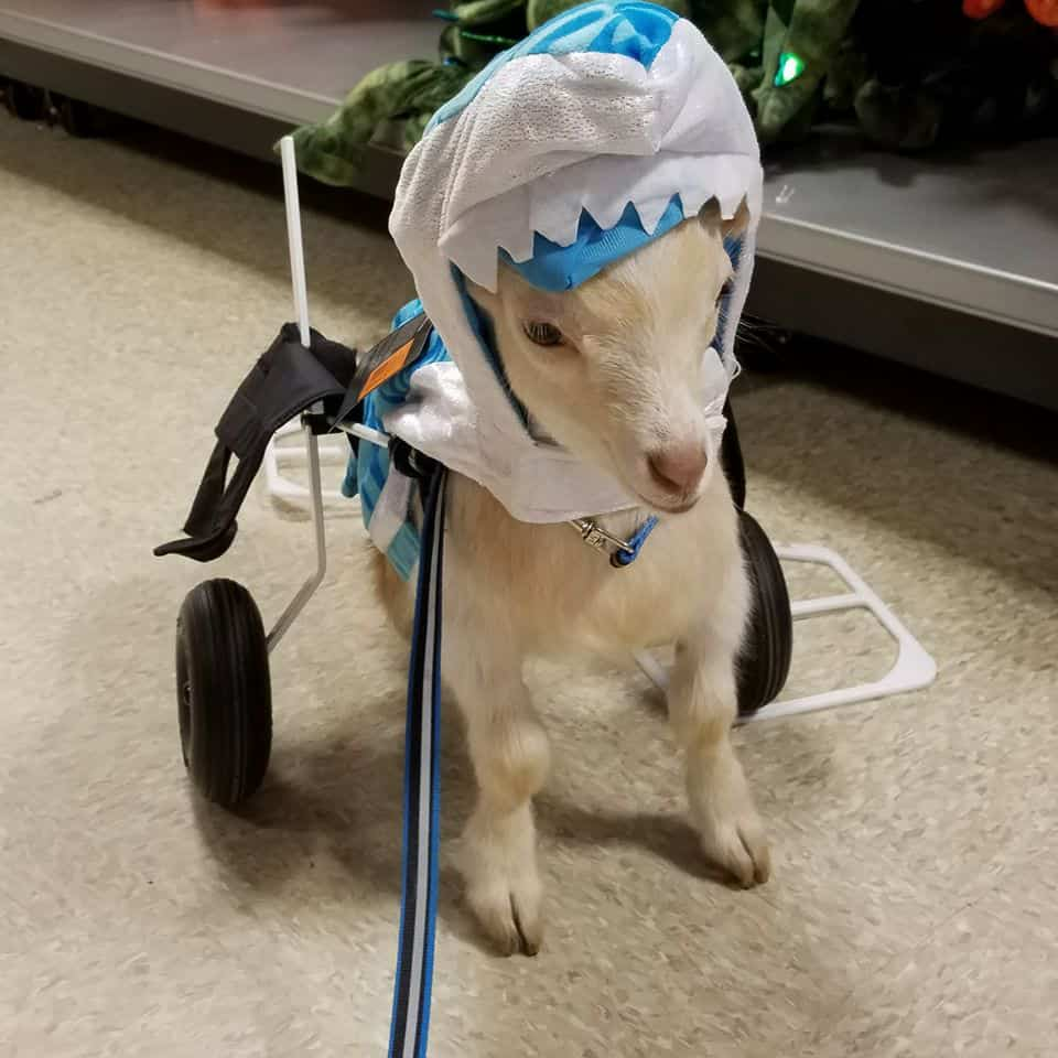 goat wheelchair