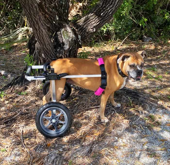 Dog Wheelchair Boxer by K9 Carts