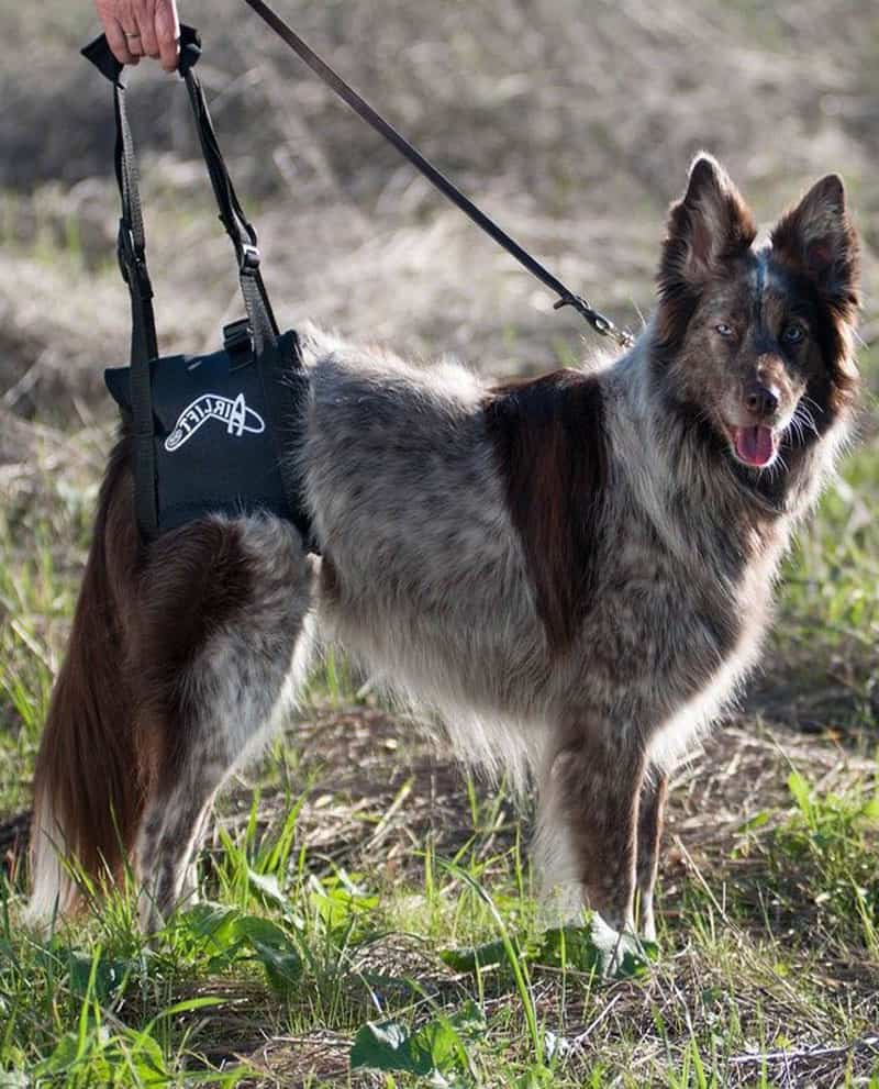 walkabout airlift dog harness adjustable handle