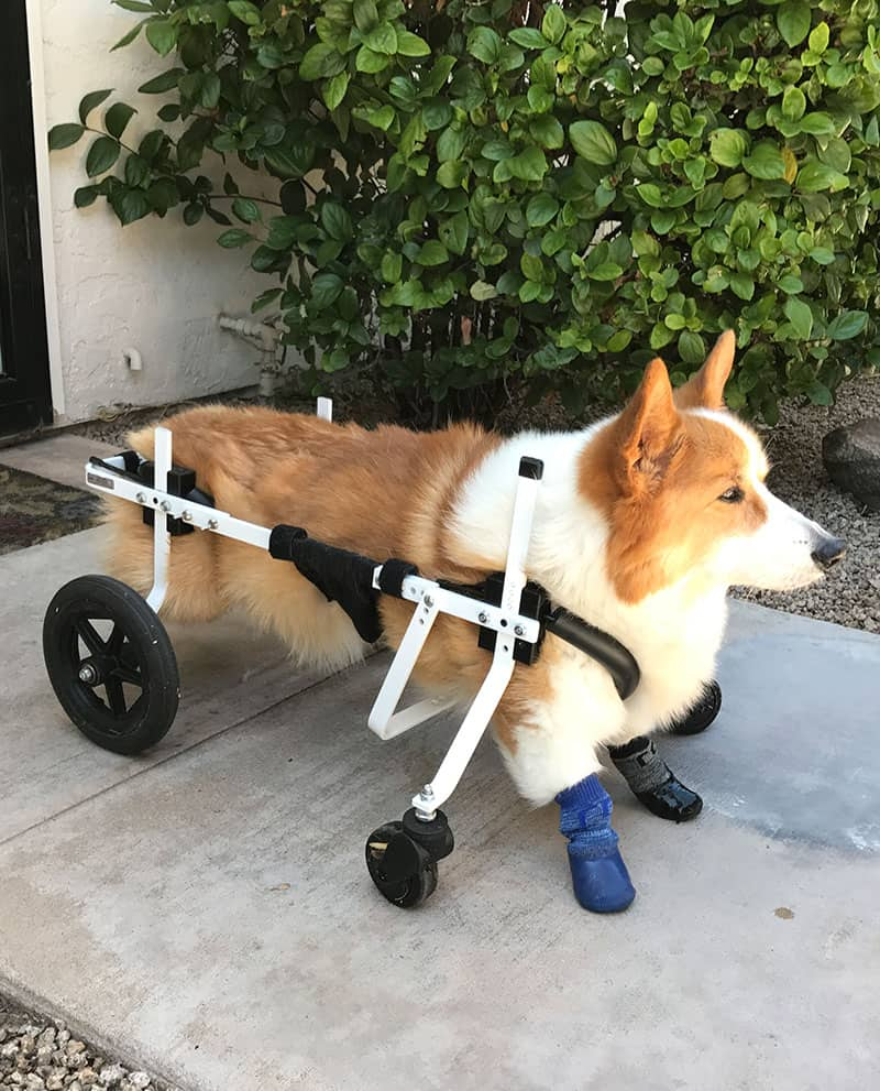 corgi full support dog wheelchair