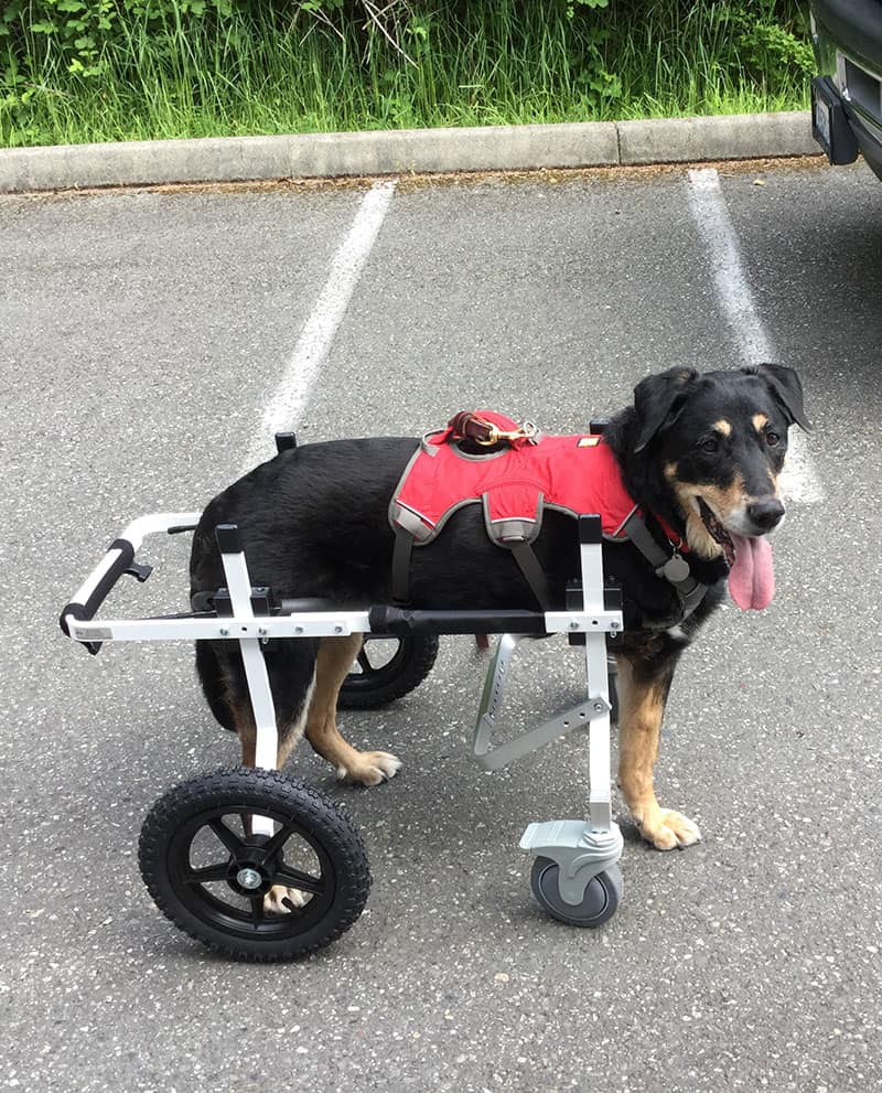 front amputee large full support dog wheelchair