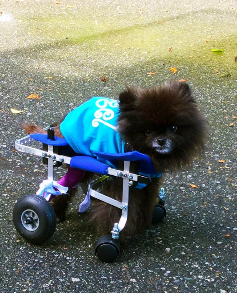Pomeranian toy breed xxs full support dog wheelchair