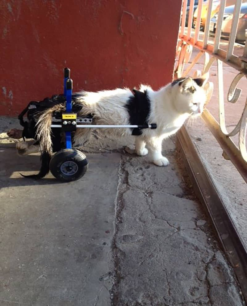 Cat in Cat Wheelchair looking over balcony