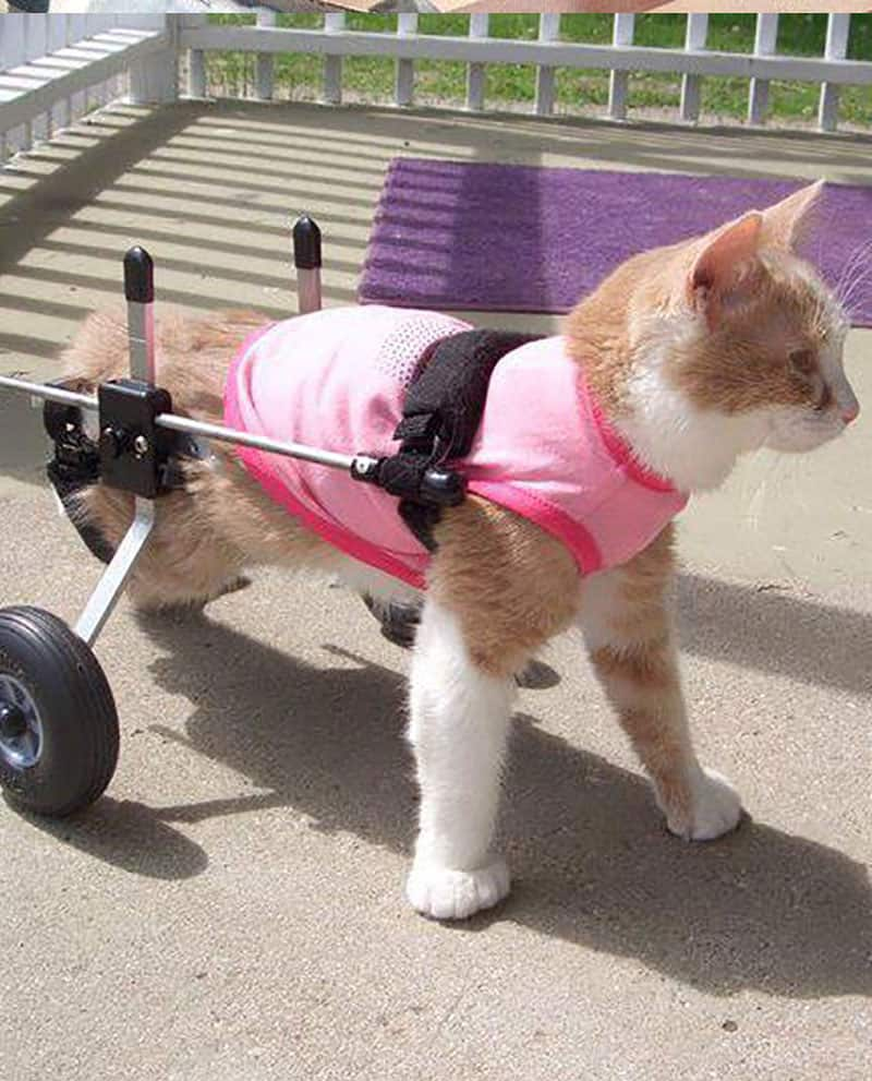 Cat enjoying her Cat Wheelchair by K9 Carts