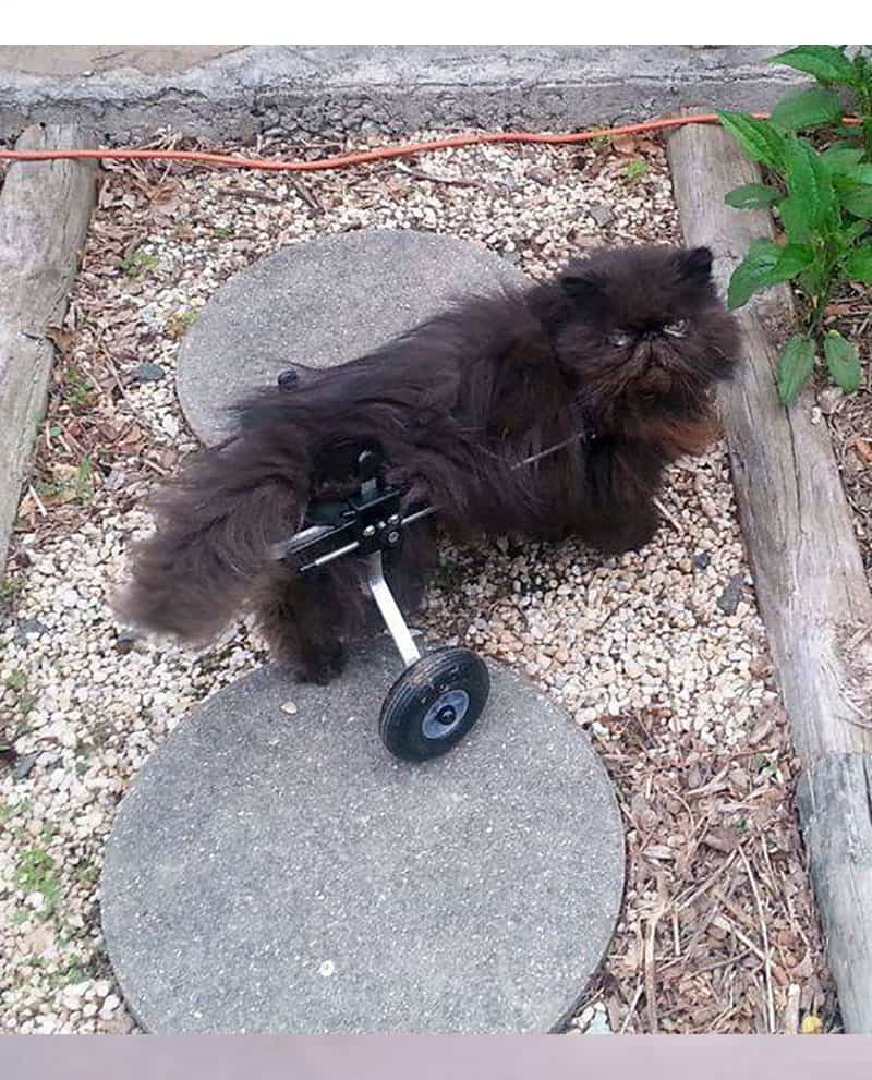 Cat in Cat Wheelchair by K9 Carts
