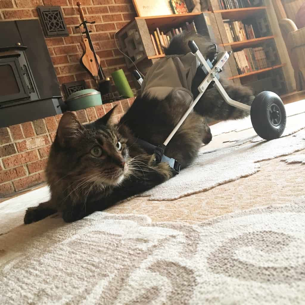 cat wheelchair for rear legs