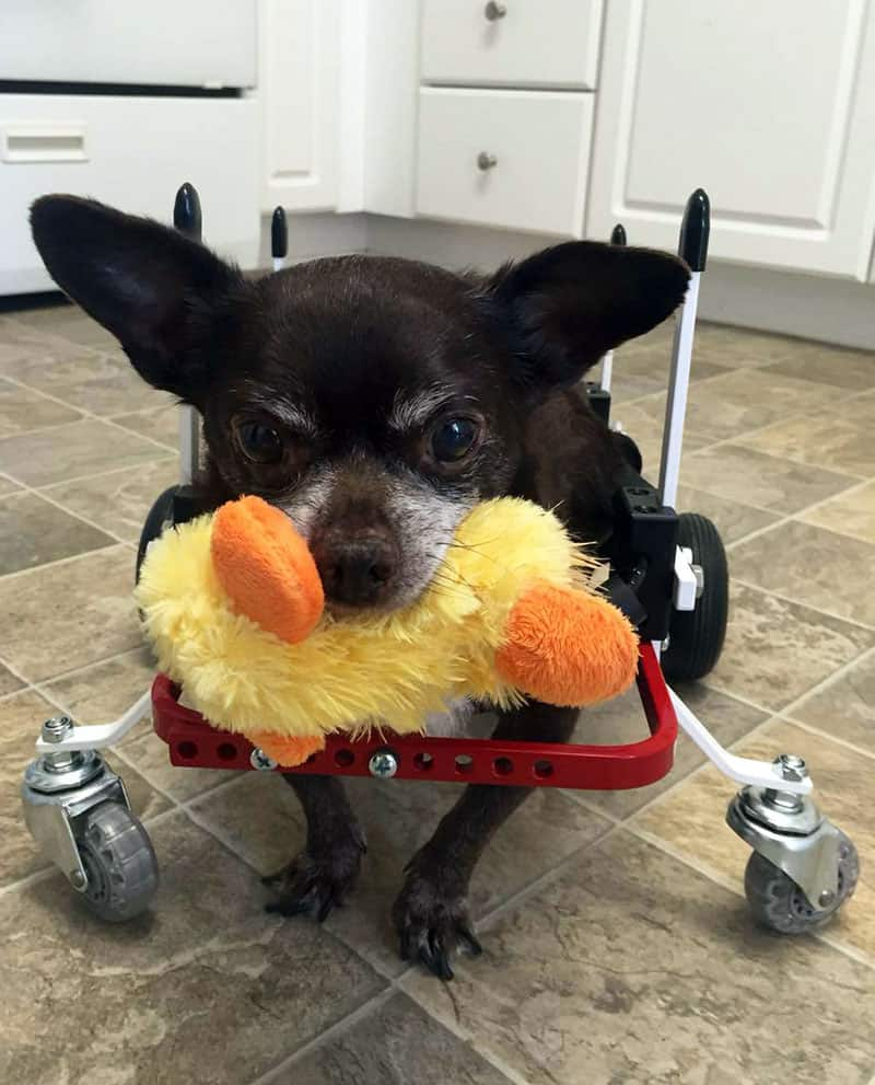 How Do Other Pets Get Along with Dogs in Wheelchairs?