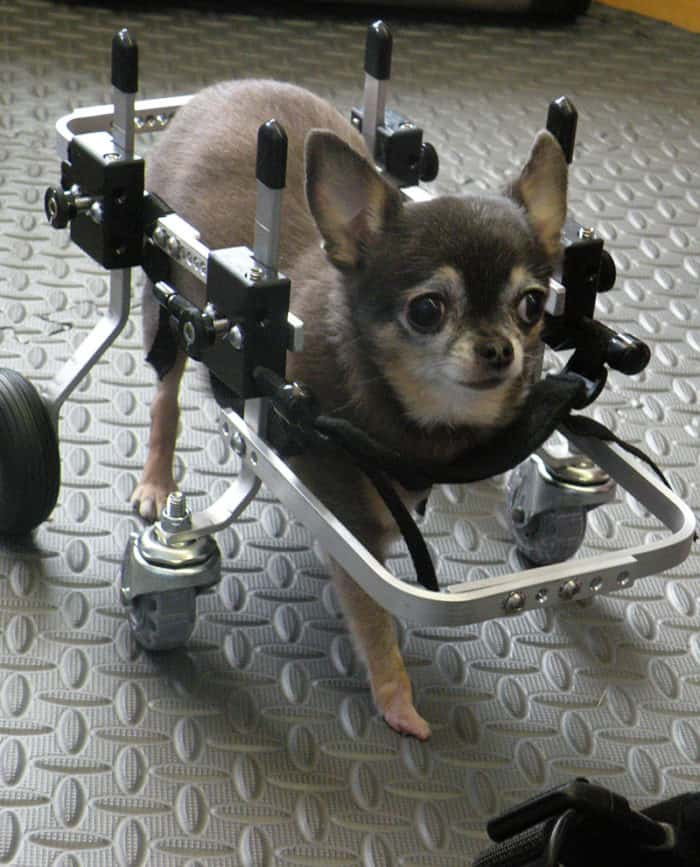 Chihuahua trying out Fully Supportive Dog Wheelchair