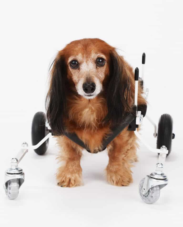 Dachshund XS Full Support Dog Wheelchair