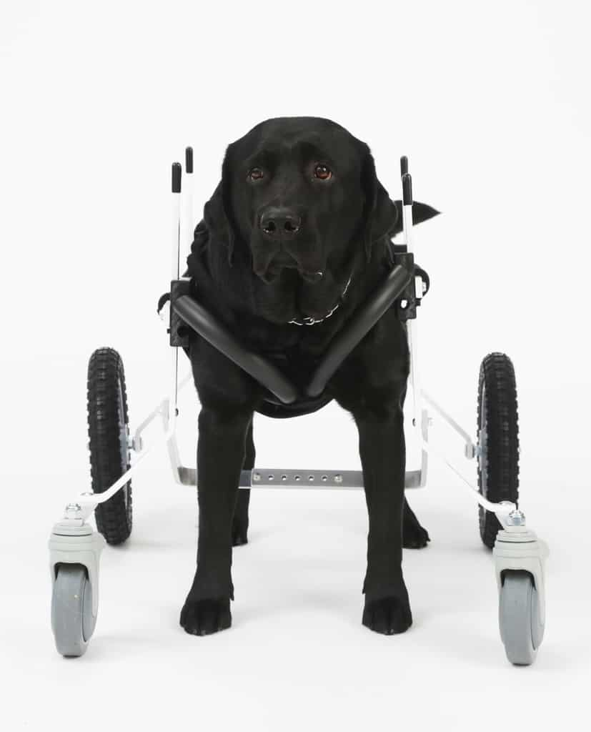 Full Support Dog Wheelchair for Large Dog