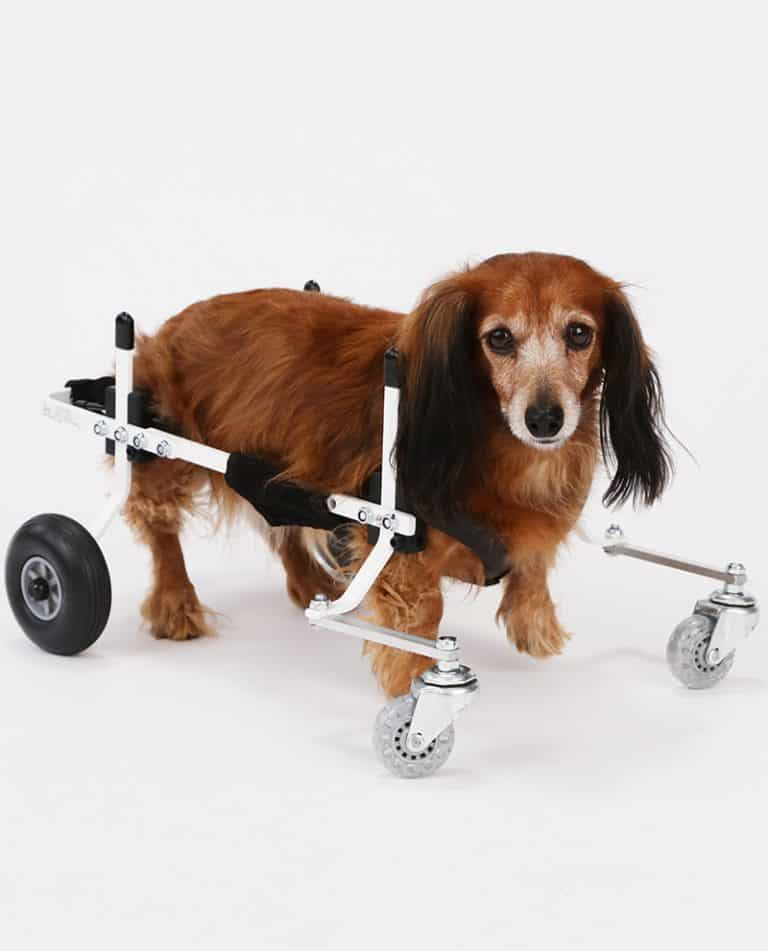 Dachshund Full Support Dog Wheelchair