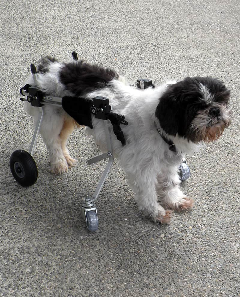 Shih Tzu using Fully Supportive Dog Wheelchair