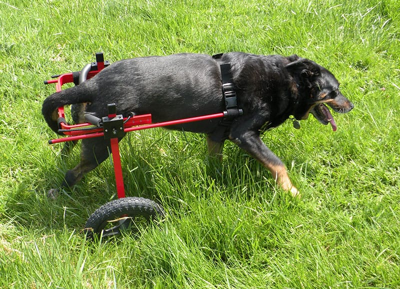red large dog wheelchair