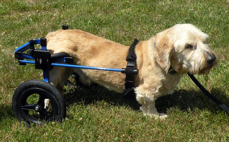 blue dog wheelchair