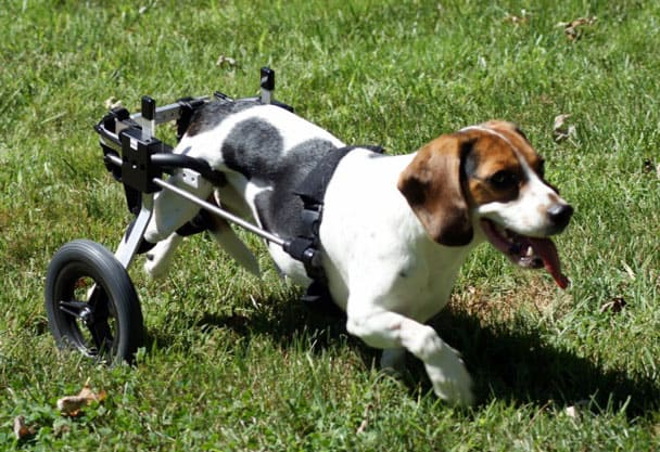 Beagle dog wheelchair