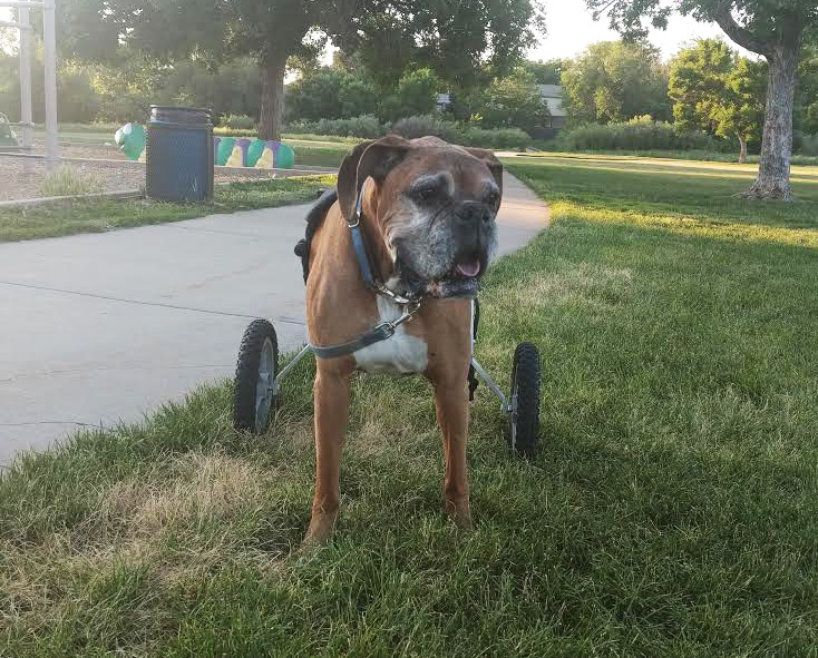 Boxer large dog wheelchair for back legs