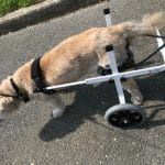 small dog white wheelchair
