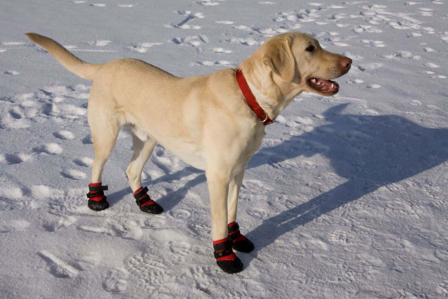 lab ultra paws durable dog boots