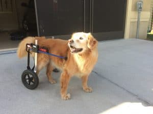 golden retriever refurbished medium dog wheelchair