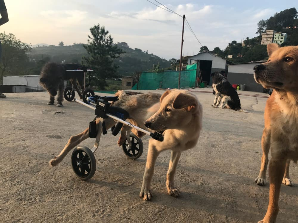 Donated dog wheelchair to Nepal.