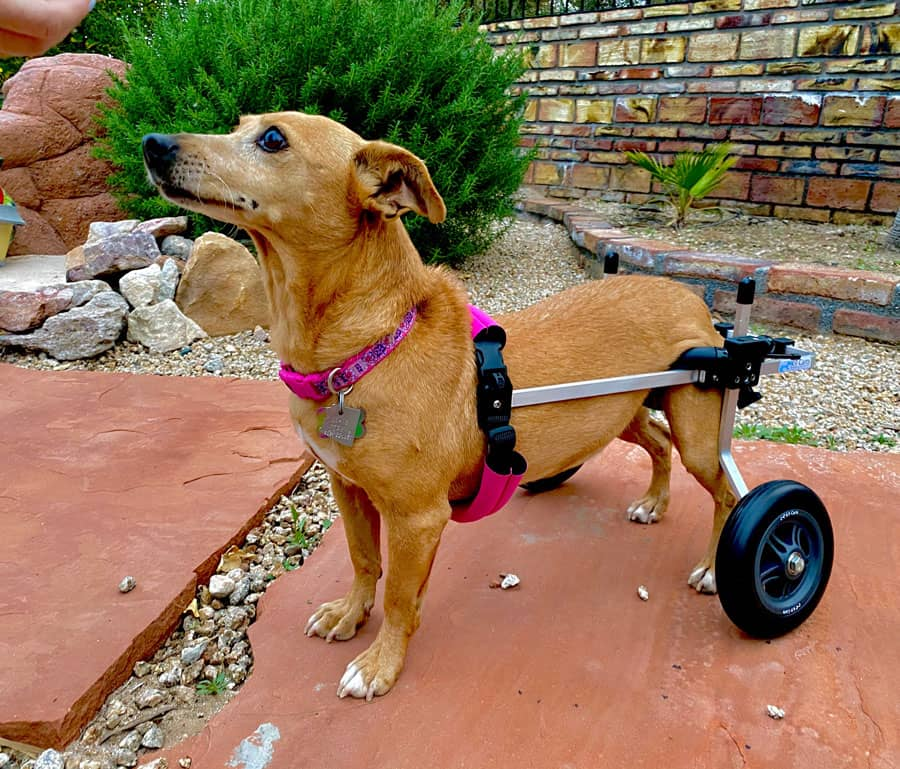 Dog with weak hind legs using a pet wheelchair
