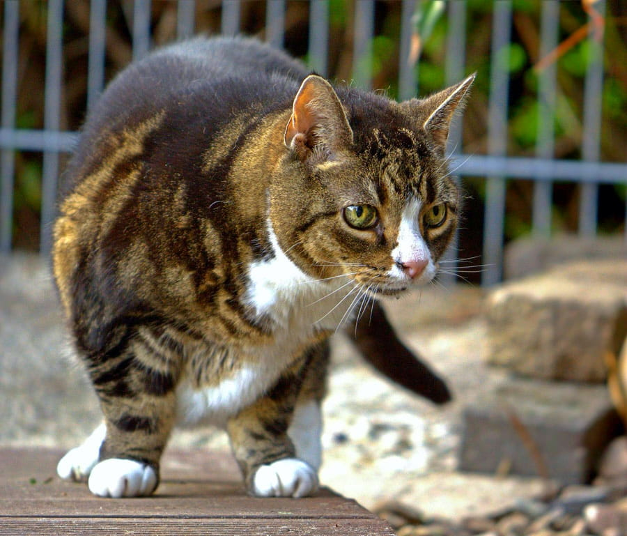 Aged cat showing signs of feline arthritis