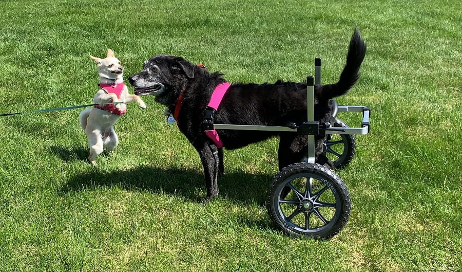 Dog with hind legs shaking and trembling using pet wheelchair