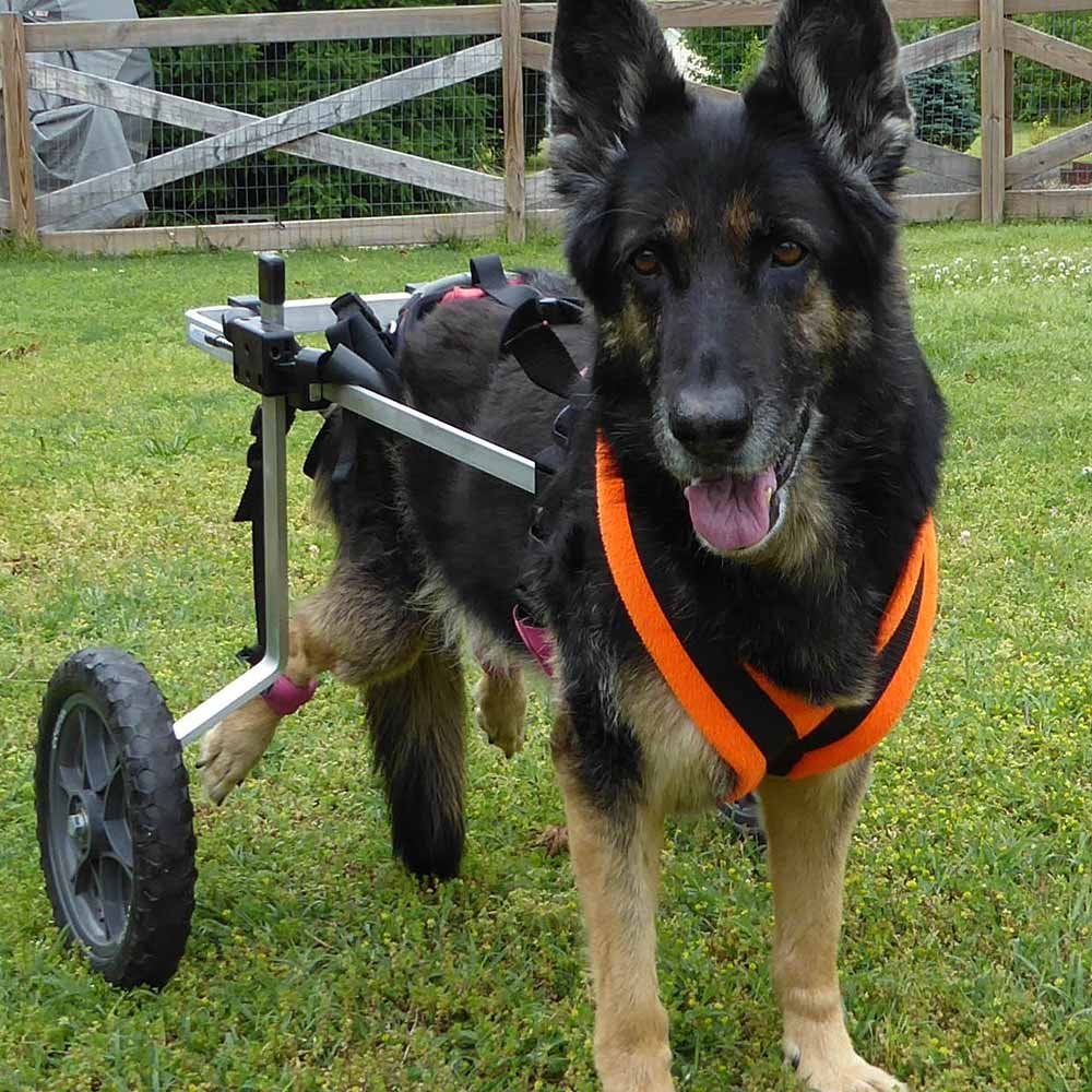 Shepherd in med-large rear support wheelchair