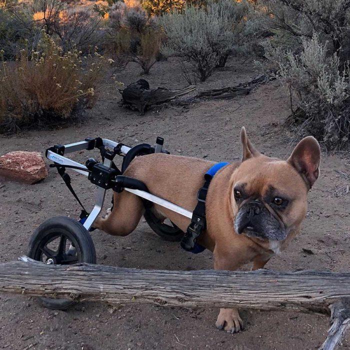 Frech Bulldog in med-small Rear Support Wheelchair