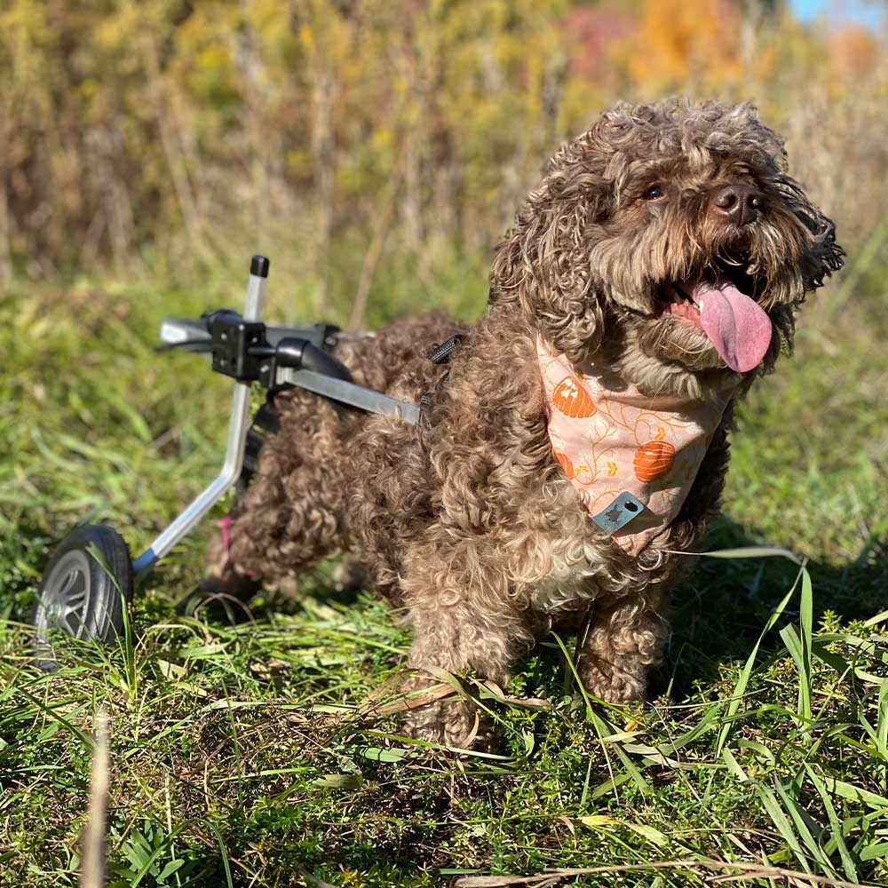 small terrier in rear support wheelchair