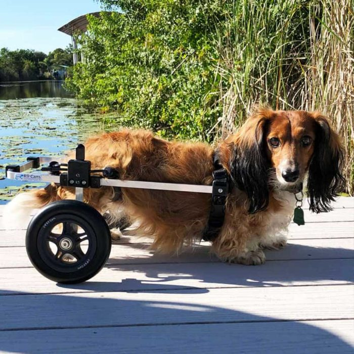 Dachshund in small rear support wheelchair