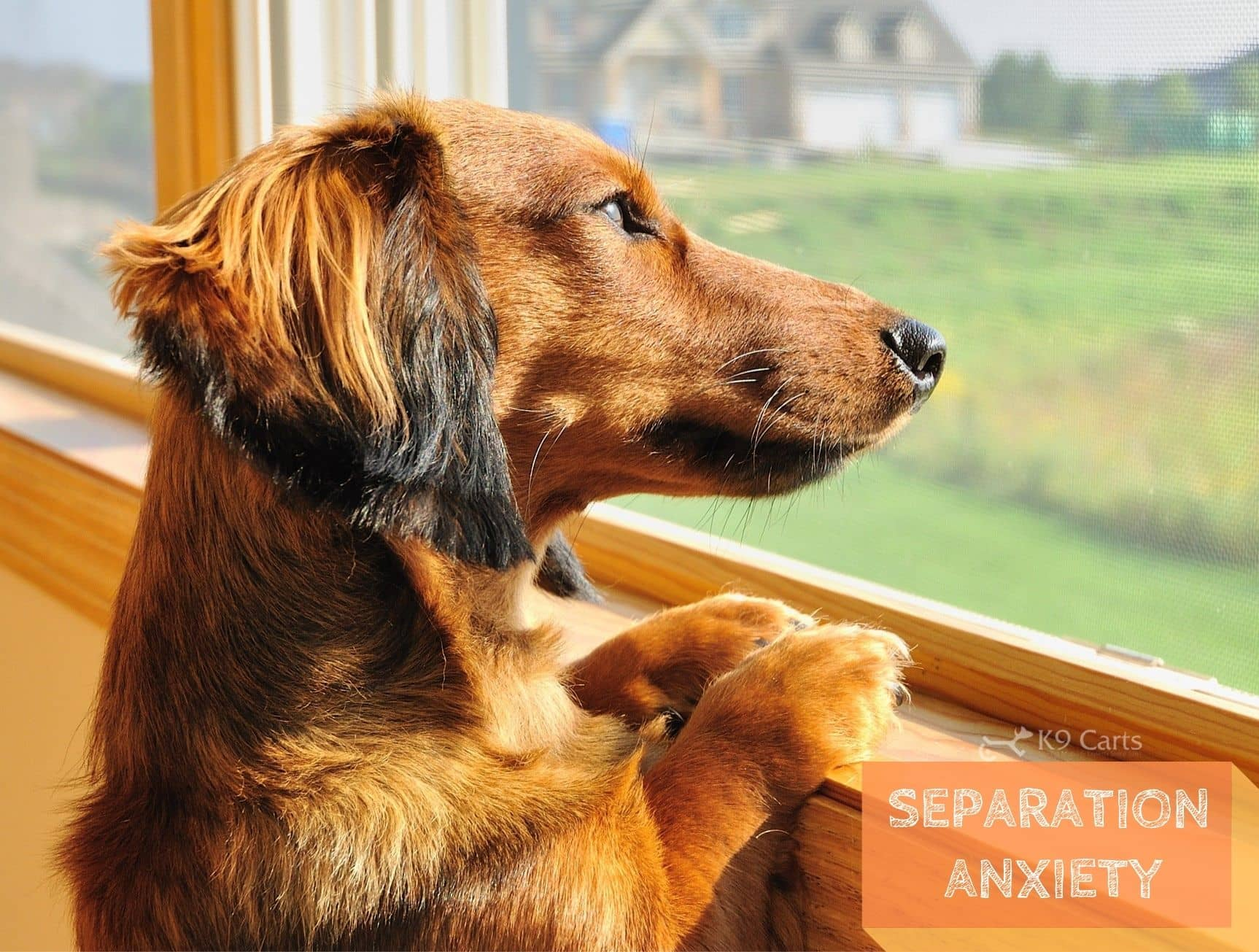 Dog showing signs of separation anxiety disorder